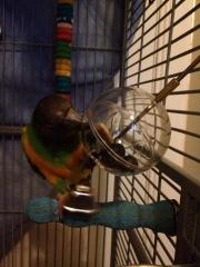Simple foraging solution for Senegal Parrot Maverick.