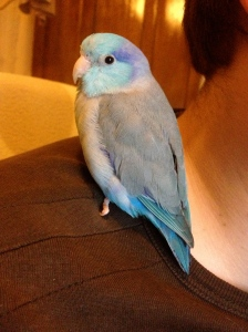 Finish off the post with the irresistible cuteness of a parrotlet!