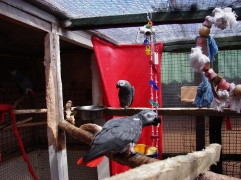 These two African Greys don't particularly like me being there. The one at the back would bite me if I moved closer - he's giving me the Evil Eye.