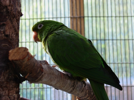 This conure, Leo, is uncertain, and is turning his back to ignore me. This means he wants me to leave.
